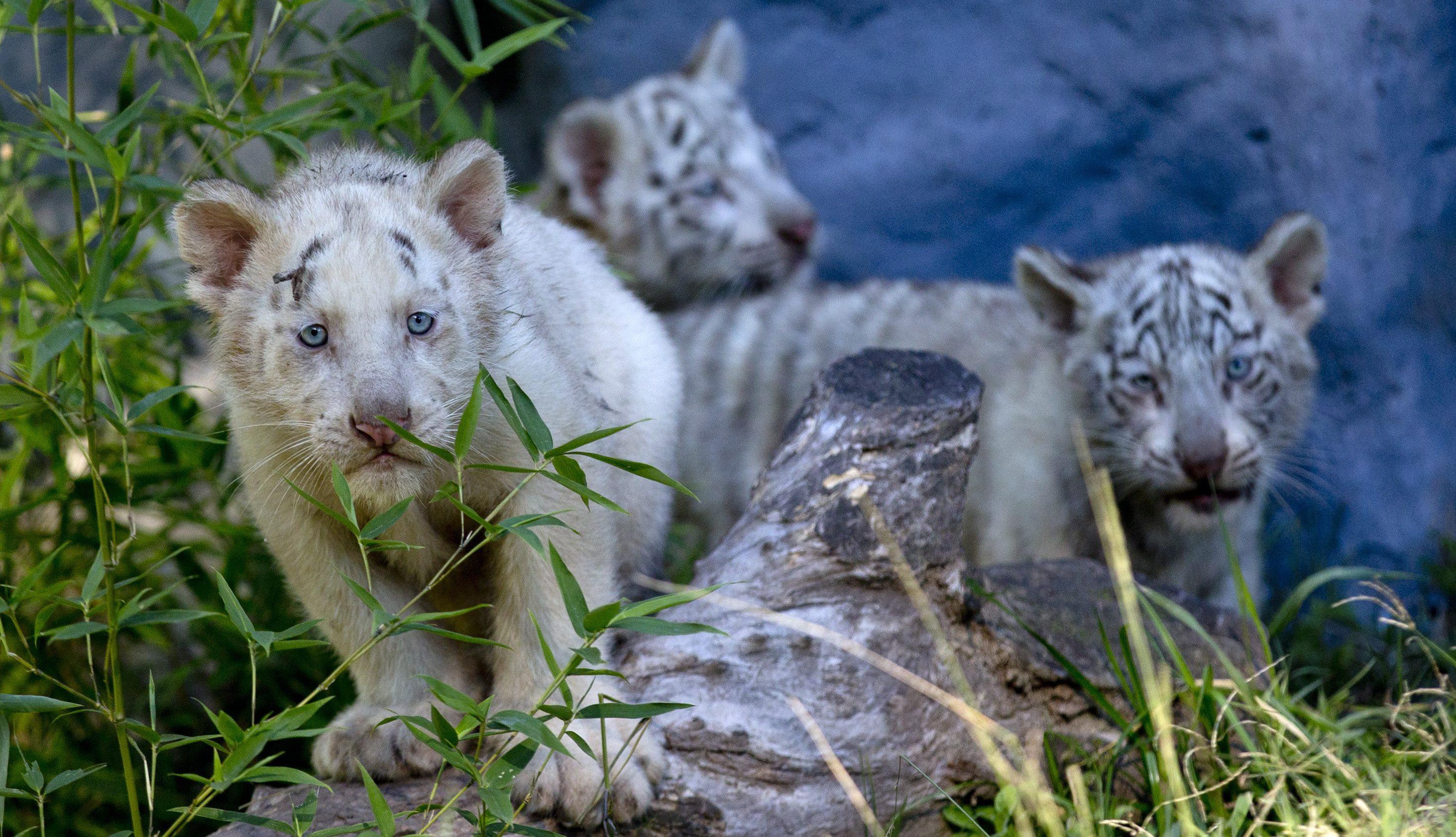 Fehér tigris hármas ikrek születtek