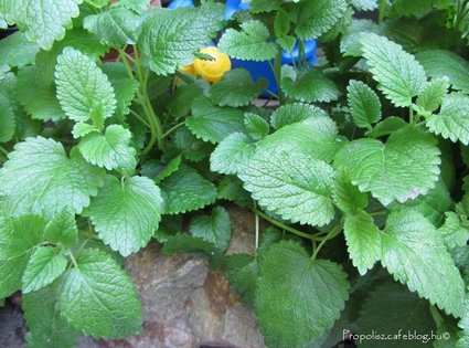 A citromfű az év gyógynövénye