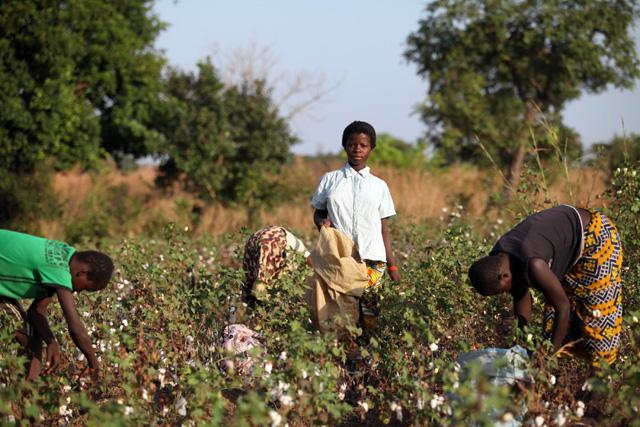 Gyerekmunkások kézzel szedik a pamutot egy mezőn Burkina Fasoban (Foto: Bloomberg)