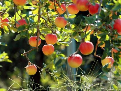 Mitől finomabb a magyar gyümölcs?