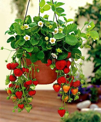 Saját gyümölcs a balkonon