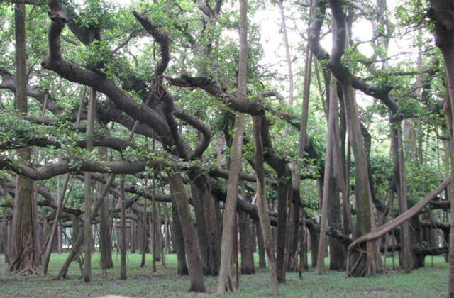 Ez a világ elgszélesebb fája