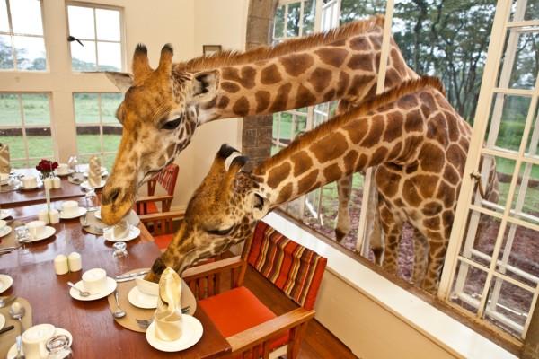 Zsiráf a hotelben? Kenyában ébredhetsz egy zsiráf puszijára