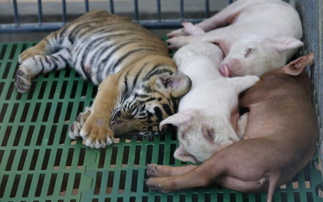 Cukiság! Kismalacok tejtestvére lett a tigriskölyök