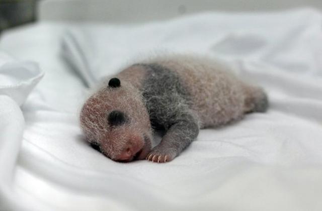 Ritka, hármasiker pandamacik születtek - fotók