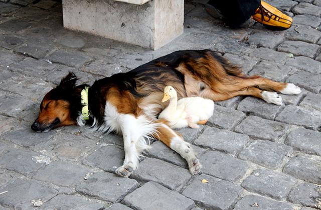 Tündéri fotók: egymáshoz bújva aludt a kutya és a kacsa
