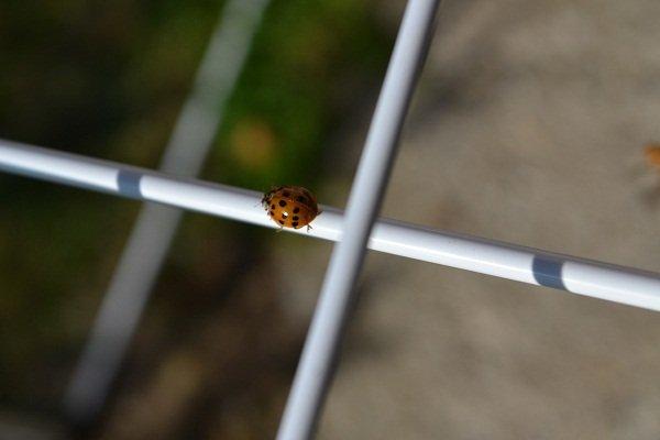 sárgás-vöröses bogár 0-19 pöttyel