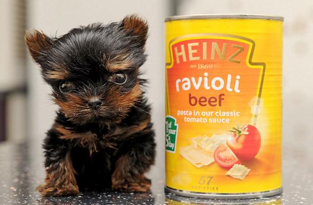 5 centi magas a világ legkisebb kutyakölyke - fotók