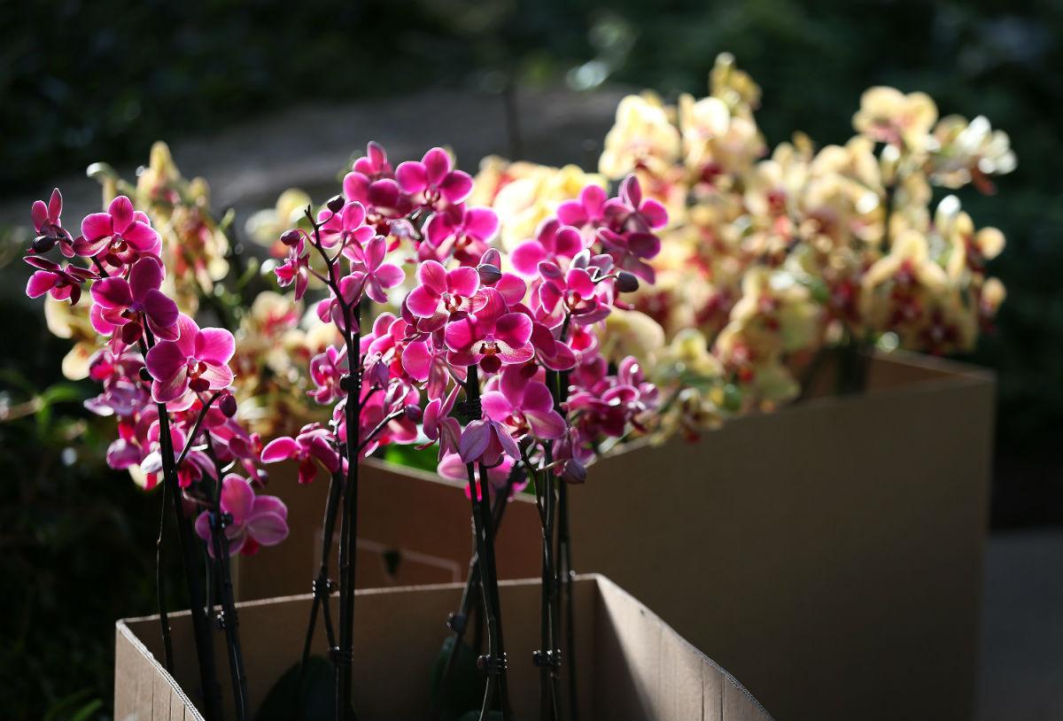 Ezek a Phalaenopsisok egy angliai orchideafesztiválon szerepeltek