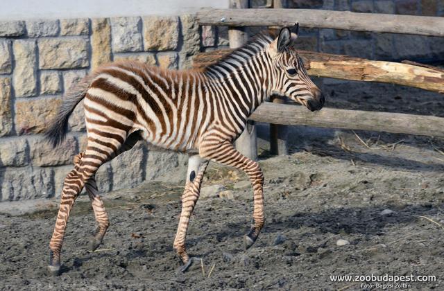 Eldőlt, mi lesz az állatkert kis zebracsikójának neve