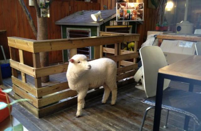 Kávézz bárányokkal!