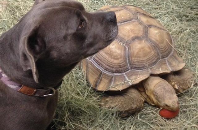 Egy teknős a pitbull legjobb barátja - videó