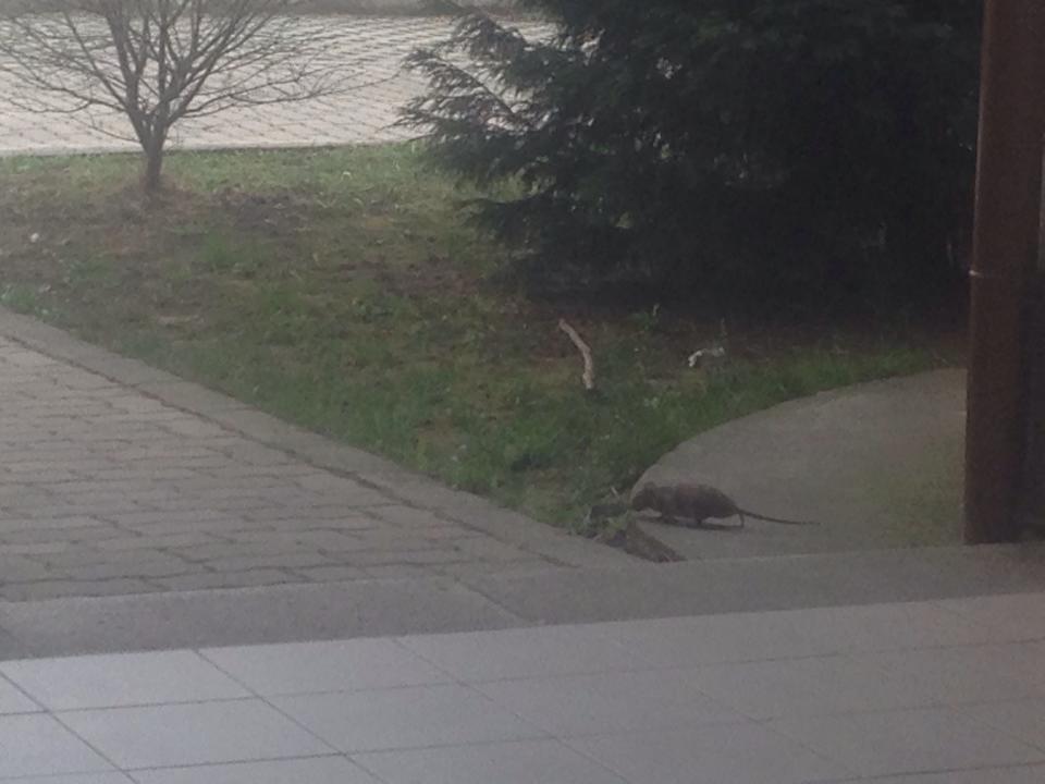 Patkány a  XVII. kerületben