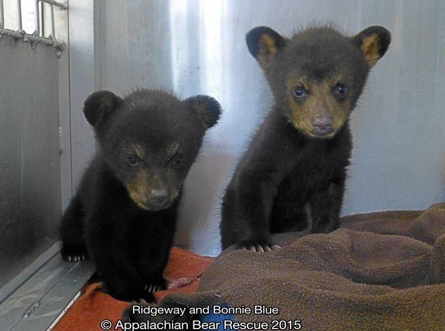 Két tündéri elárvult medvebocsot mentettek meg