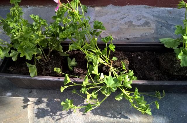 Muskátli, a legszebb nyári virág erkélyre, teraszra