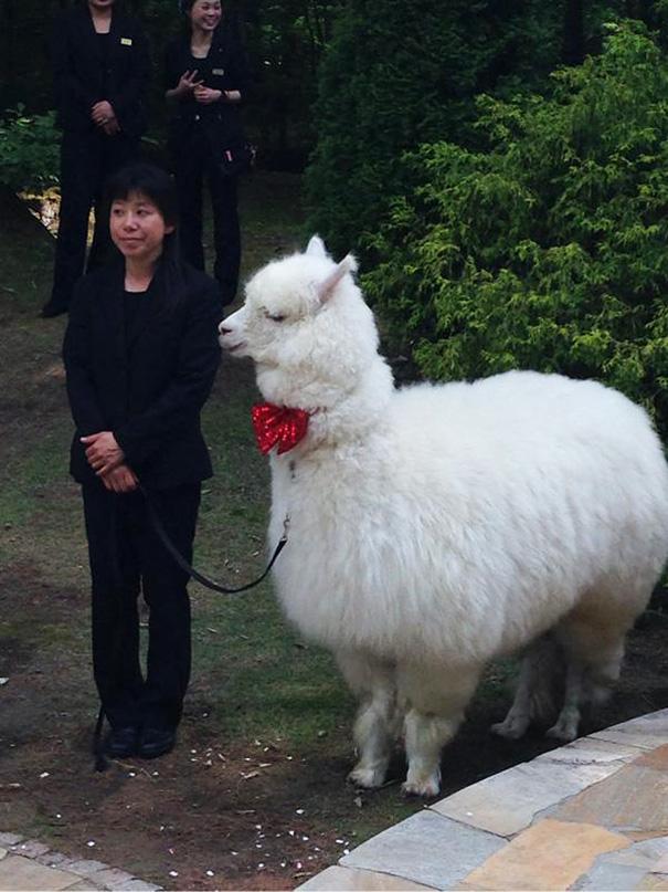 Esküvőd lesz? Bérelj egy alpakát és kísérjen ő az oltárhoz!