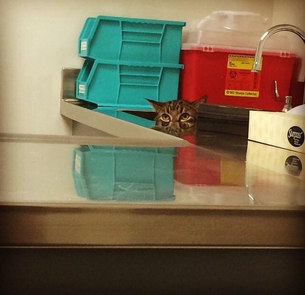 15 macska, akik azt hiszik elbújhatnak az állatorvosnál - vicces képek