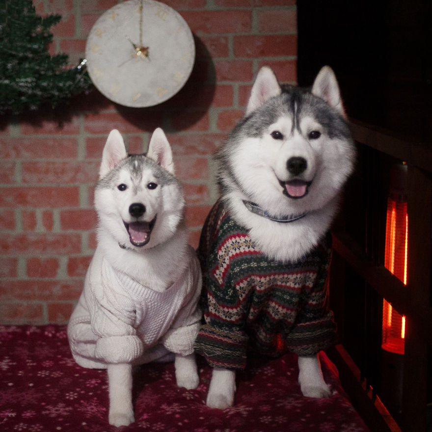 Ezeknek a husky kutyusoknak egyszerűen minden jól áll!
