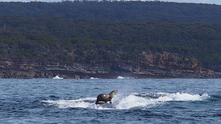 A bálnán szörföző fóka az új madáron utazó menyét