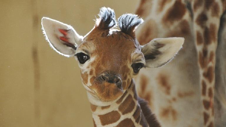 Így duruzsolnak egymással a zsiráfok