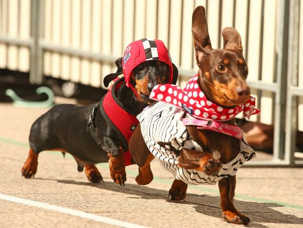 Megőrülsz: ruhás tacskók versenyeztek!