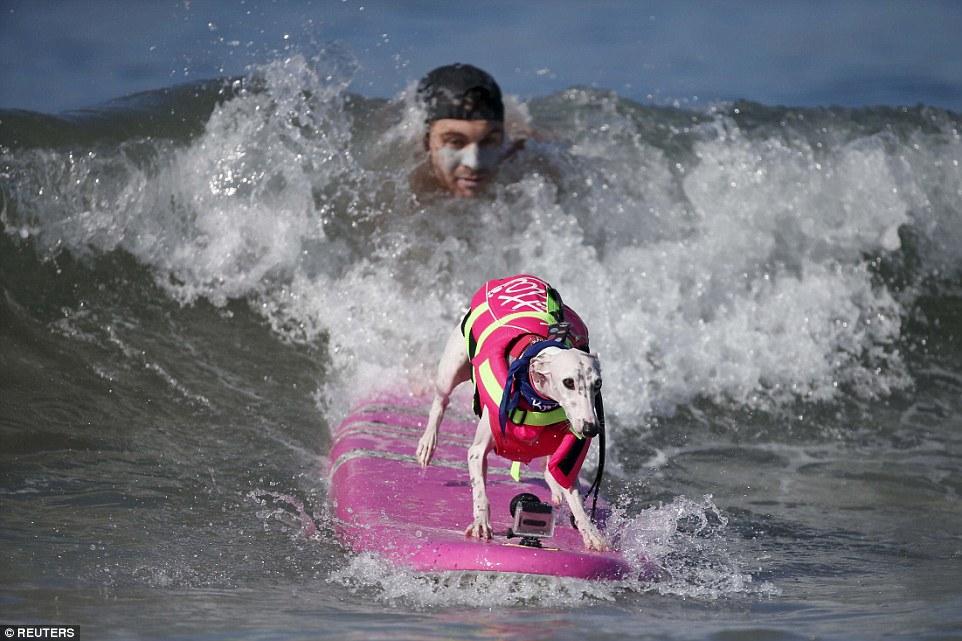 Szörf: extrém sport kutyáknak - képek
