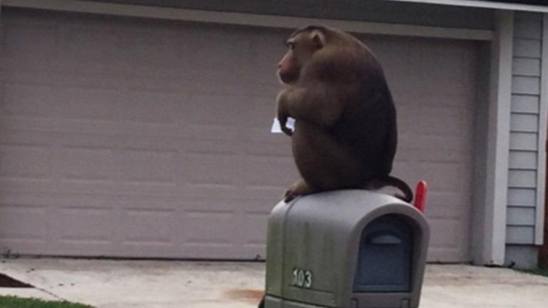 Megeszi a postádat az éhes majom!