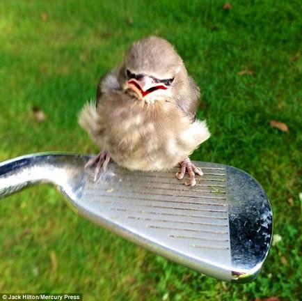 Angry bird a valóságban