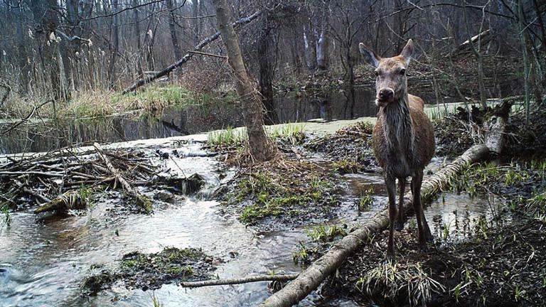 Szarvasok is szép számmal élnek a csernobili erdőkben (Fotó: Tumblr)