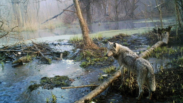 A farkasok is vígan elvannak az ember által nem bolygatott erdőkben (Fotó: Tumblr)