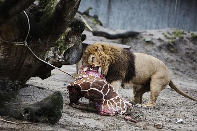 Zsiráf után oroszlánt boncolnak
