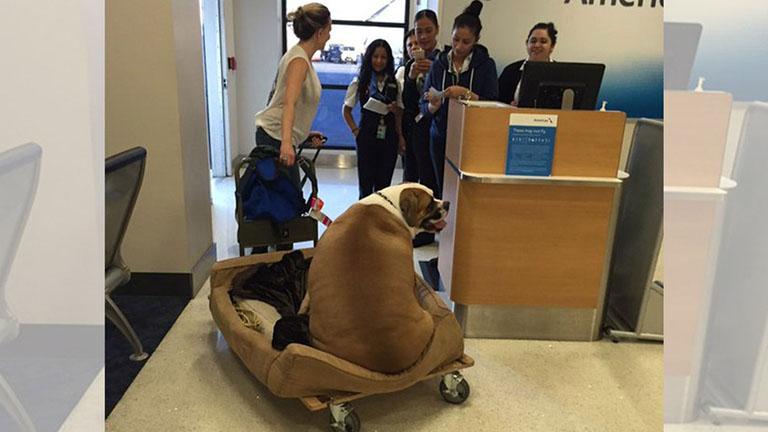 Első osztályon repülhetett ez a borzasztóan kövér kutya