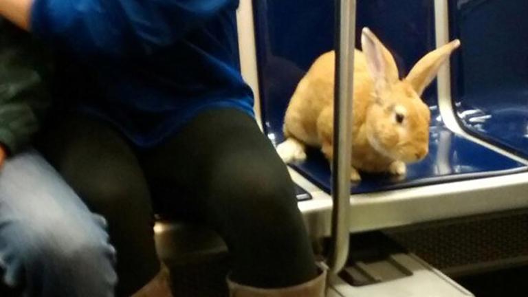 Nem nézték jó szemmel a metrózó nyulat