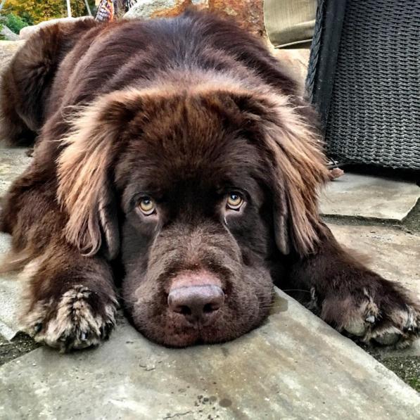 21 kép a lenyűgöző labradorokról és újfullandi kutyákról