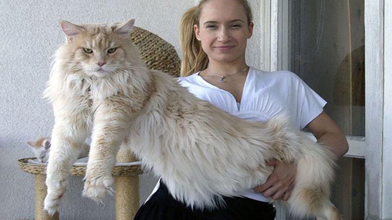 Valószínűtlenül hatalmas macskák, amik simán megennék reggelire a kutyádat