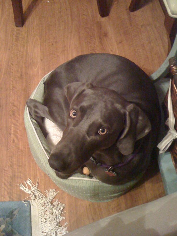 11 kutya, aki nincs tisztában saját méreteivel – vicces képek