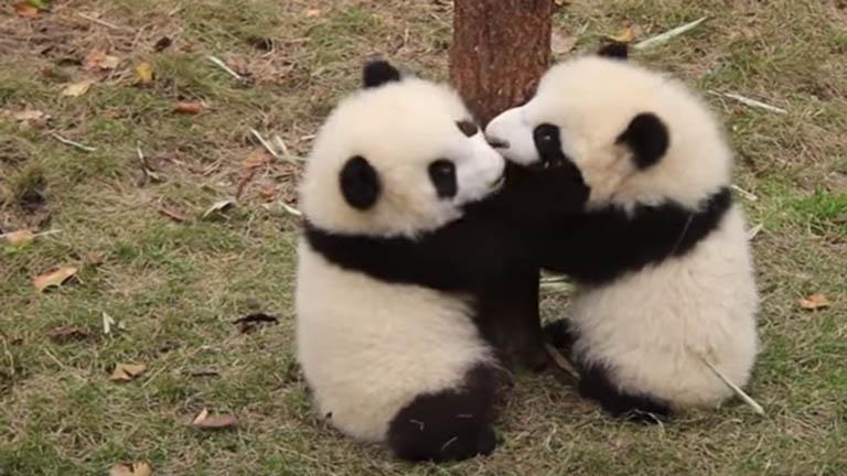Ezek a panda bébik megcsinálják a napod – cuki videó