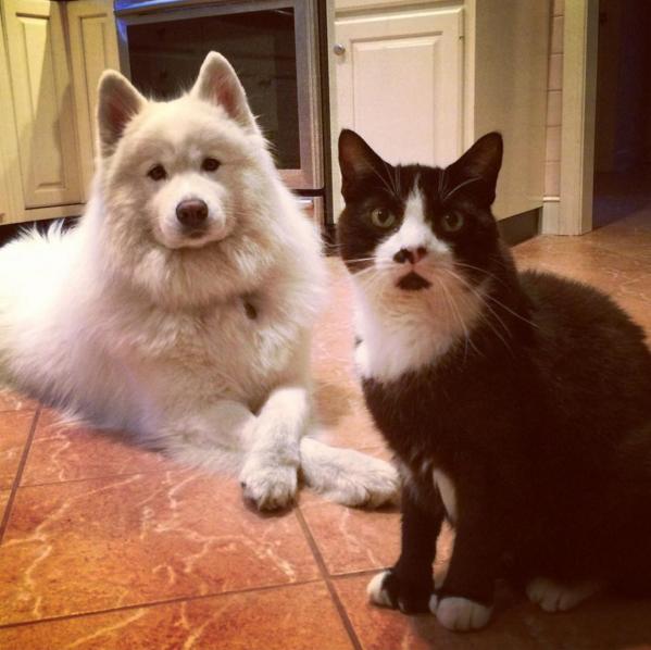 2016-ban a szamojéd kutyák a Te szívedet is elrabolják!
