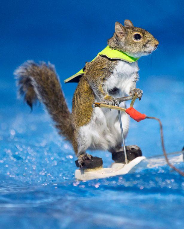 Vízisíelő mókus az internet sztárja - videó