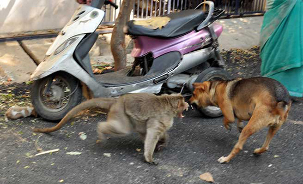 Napi cuki: majom fogadta örökbe a kiskutyát