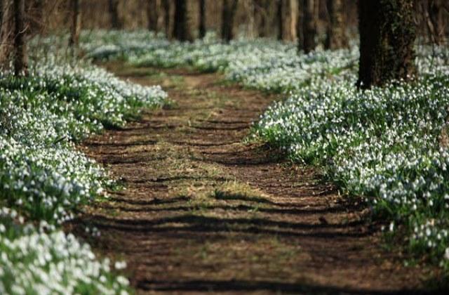 Páratlan látvány, amikor nyílnak a hóvirágok