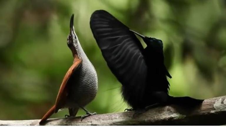 Hallgass varázslatosan éneklő paradicsommadarakat! - csodás videó