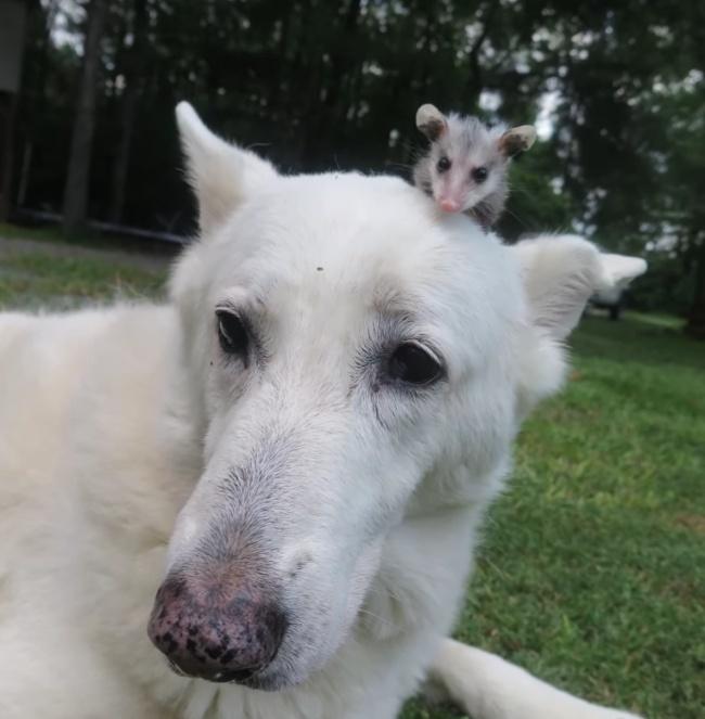 Csodás barátság: elválaszthataltan a kutya és az opusszum