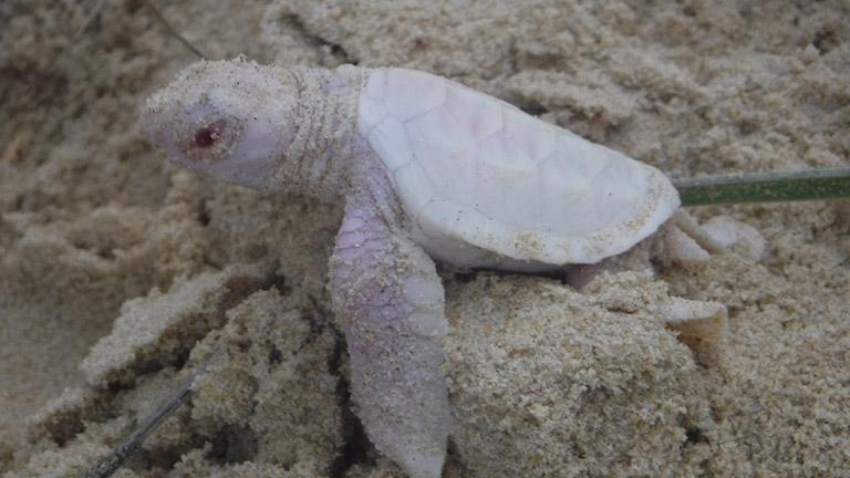 Napi cuki: hihetetlenül ritka albínó teknőst találtak