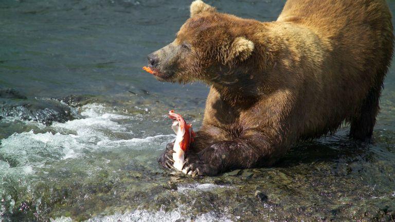A medve mellékhatások nélkül tud hízni