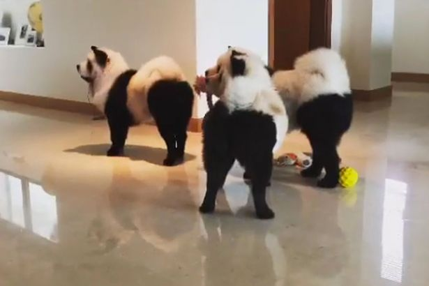 El tudod dönteni, hogy pandák vagy kutyák vannak-e a képen?