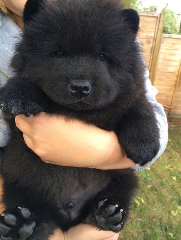 Édes kiskutyák, akik lehet, hogy inkább medvék