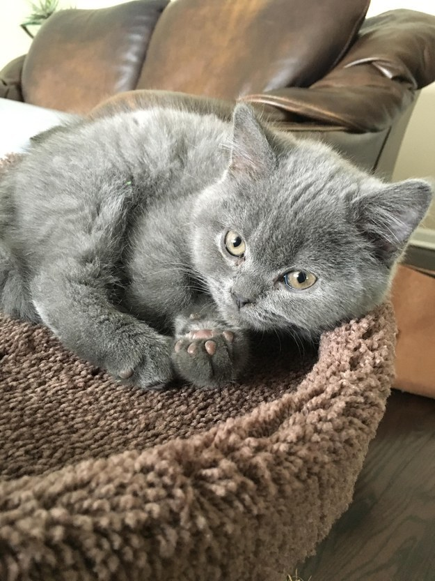 10 szupercuki szürke macska, aki felvidít ezen a szürke és esős napon - képek
