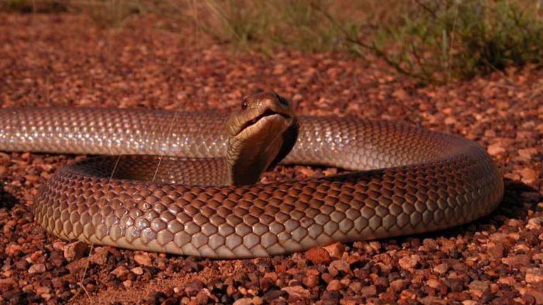 A barna ausztrálsiklóa kontinens leggyakoribb mérgeskígyója
