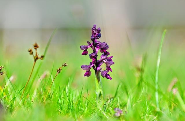 Agárkosbor Az élénk lila, vagy bíborszínű agárkosbor az egyik legkisebb méretű orchideaféle, virágzását április közepétől május végéig csodálhatjuk meg. A fürtös virágzatú növény igazán figyelemfelkel